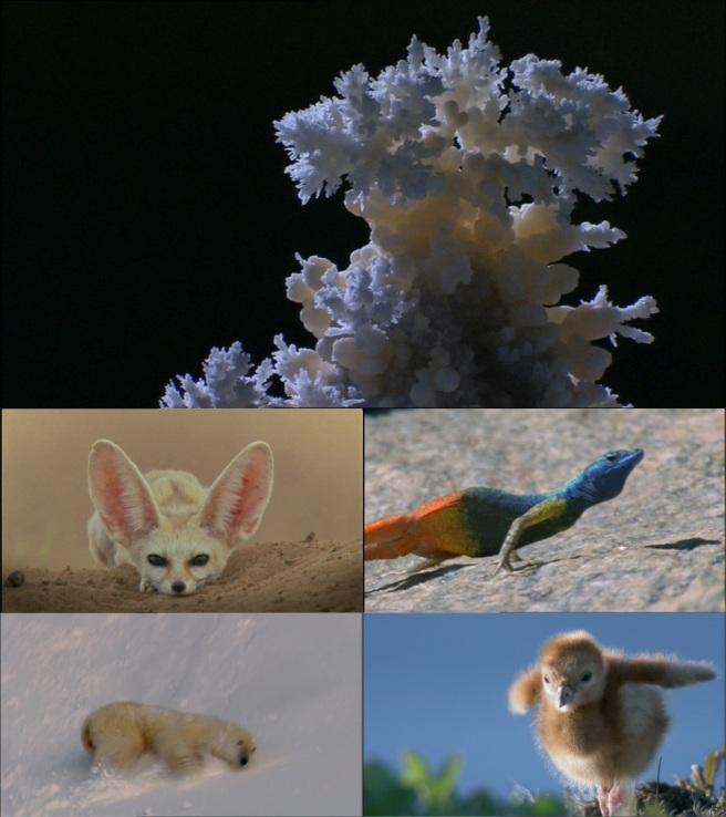 Gypsum crystals, fennec fox, flat lizard, polar bear, sand crane chick